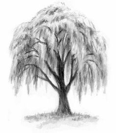 Weeping pussy willow tree sketches