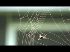 Spiny Orb-Weaver Spi