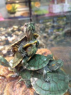 turtles......