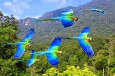 Beautiful flying scarlett macaws