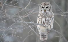 Snowy and Barred Owls are the Jedi of the Owl Family.