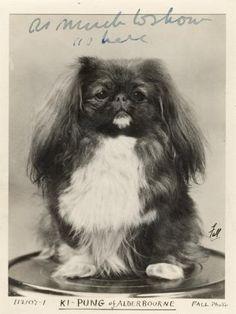 Fu Dog, Dog Cat, Animals And Pets, Cute Animals, Pekingese Dogs, Lion Dog, Vintage Dog, Thing 1, Dog Behavior