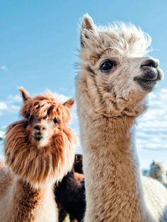 Forget the kitten or the labrador, the alpaca is the new . Alpacas, Cute Baby Animals, Animals And Pets, Funny Animals, Amazing Animals, Animals Beautiful, Lama Animal, Cute Alpaca, Baby Alpaca