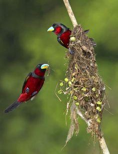 Nesting black and red broadbills..