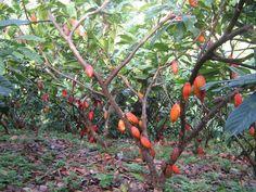 Arbolitos de cacao - Chocolate - Theobromca cacao forastero