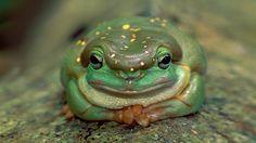 Magnificent Tree Frog | Magnificent tree frog in Drysdale River National Park, Australia ...
