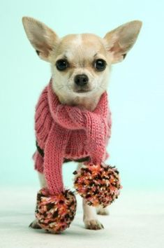 Chihuahua in a pink wooley scarf on a blue green background Stock Photo