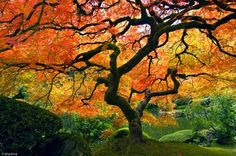 Japanese maple in fall colours