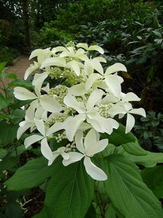 Hydrangea paniculata 'Great Star'