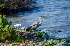 Title  Great Blue Heron And Snowy Egret At Dinner Time   Artist  Debra Martz   Medium  Photograph - Photography