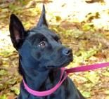Cheyenne is sweet 3 year old Australian Cattle Dog mix. Stop by and see her today. ID: 21058831