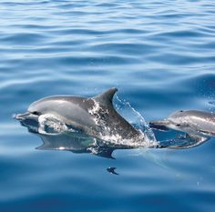 The balmy waters around Sri Lanka are home to a wealth of cetacean life, including blue whales, sperm whales and spinner dolphins. On land, the… Sri Lanka, Conservation, Blue Whale, Group Tours, Leopards, Dolphins, Nature, Wildlife, Asia