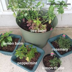 Herbs that repel Mosquitoes!   Top 12 Mosquito Repelling Plants
