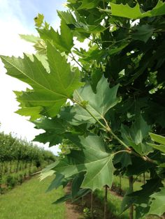 Exclamation!™ London Planetree London Plane Tree, Shade Trees, Acre, Plant Leaves, Herbs, Shades, Garden Ideas, Plants, Image