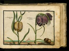 Crispijn de Passe, Hortus Floridus, 1614. Arnhem. Via University Library Sachsen-Anhalt, Germany.