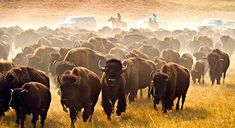 Bison are mammals belonging to the bovine family , commonly known as buffalo. At present, there are only two species of bison in the world: Herbivorous Animals, George Custer, South Dakota Travel, John Boy, Custer State Park, Sea To Shining Sea, American Bison, Wyoming, The Great Outdoors