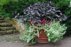 Planting of Persian Shield, pink New Guineas, peach petunias, and variegated licorice.