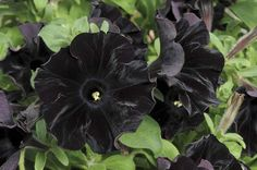 """Scientists have created the world's first all-black petunia plant, called Black Velvet. But, despite all the hype, it's not really black. The creators of """"Black Velvet"""" claim theirs is the blackest bloom yet produced. Black And White Flowers, Dark Flowers, Exotic Flowers, Beautiful Flowers, Black Velvet, Black Satin, Petunia Plant, Petunia Flower, Fabric Flowers"""