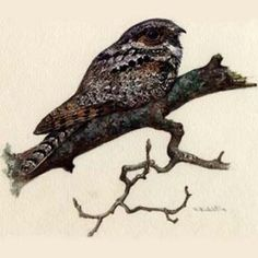 Whippoorwill - Not sure where this guy's going. But I'm getting a whippoorwill because of the one that used to sing me to sleep outside of my window every summer when I was little.