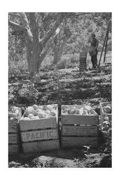 'Harvesting Pears' Print (Unframed Paper Poster Giclee 20x29)