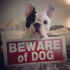 Daddy, why do I have to wear this? Does this sign really say my name? #beware #sign - @manny_the_frenchie- #webstagram