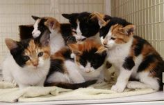 Calico kittens with a range of facial patterns.  Just imagine all of these kitties talking at the same time.  Yikes!!