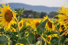 Słoneczniki na tle Wielkiej Sowy