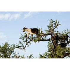 Acrobatic goats dote on argan nut trees, grown only in Morocco