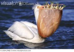 Pelican with Bill Full of Fish
