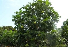 Global Activism: Breadfruit Trees are the 'Trees That Feed'. Breadfruit is amazing with multiple uses. The flour of breadfruit is gluten-free. It is a prolific tree that has great potential to provide lots of food --- part of a solution to world hunger.