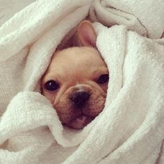 french bulldog // snug as a bug in a rug
