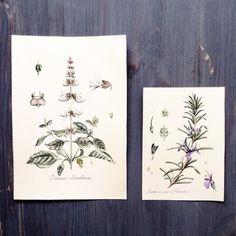 New Watercolor Botanical Illustration. Provence herbs: basil, rosemary // Новые акварели. Ботанические иллюстрации. Прованские травы: базилик, розмарин. #limkina