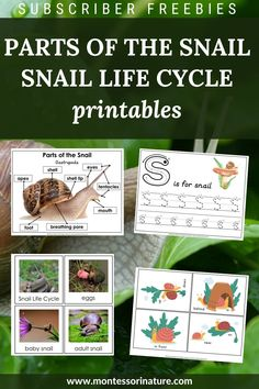 Here is what's included: Parts of the Snail poster Parts of the Snail label cards and blank poster Blackline master Snail preposition cards 's' is for snail pre-writing tracing worksheet Snail life cycle 3 part cards Snail Life Cycle, Cycle For Kids, Baby Snail, Blank Poster, Tracing Worksheets, Cycle 3, Pre Writing, Snails, Life Cycles