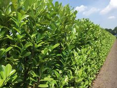 QuickHedge Prunus Lauroseracus Rotundifolia - Laurierhaag - 100x200 cm.
