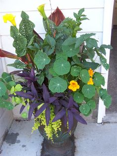 container gardening calla lilies -