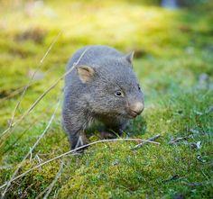Wombat... Credit to Robert Irwin
