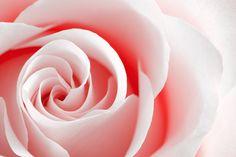 stock.xchng - High Key Rose (stock photo by somadjinn) [id: 1343979]