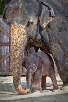 Fort Worth Zoo announced the birth of a 330-pound, 38-inch tall female Asian Elephant calf on July 7.  This calf is only the second Elephant ever born at the zoo. Learn more today on ZooBorns: http://www.zooborns.com/zooborns/2013/07/fort-worth-zoo-celebrates-asian-elephant-birth.html