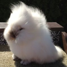 I need a buck like this! Lionhead Bunnies, Lionhead Rabbit, Baby Harp Seal, Animals And Pets, Cute Animals, Somebunny Loves You, Silly Rabbit, Cute Bunny, Guinea Pigs