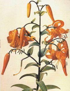 Flower | #Vintage Fine #Art Prints | #GalleryDirect