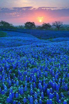 Texas bluebonnets!   soooo pretty
