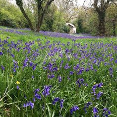 Every spring as the soil warms and the leaves unfurl after the snowdrops  we are treated to a carpet of bluebells. If you looks closely you can also see violet celandine and wild orchid. #fforest #stayplaydream #springawakening #visitwales #geodasicdome