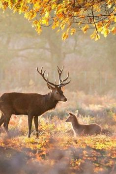 Autumn ~ deer, country
