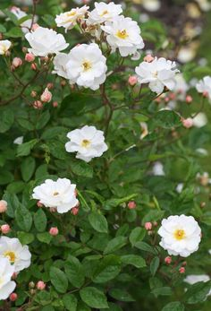 """""""Trier""""8 BRA SOM HÄCKLättodlad, kraftigväxande ros som kan klättra upp mot 180 cm. Bubbliga, halvfyllda, vita blad med gul mitt. Svag doft. Bra som häck eller stor buske. Zon IV."""