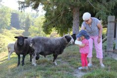 Photo by Rangitikei Farmstay: Hannah allocates Colin the pet ram a ration of his favourite nuts. Farm Stay, Country Living, Cow, Pets, Animals, Country Life, Animales, Animaux, Cattle
