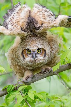Photograph Great Horned Owl Stretch. by Daniel Cadieux on 500px