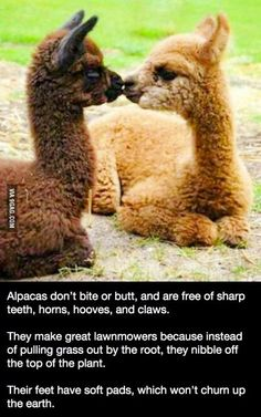 Interesting facts about alpacas