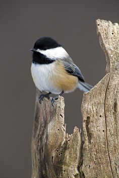 Black Capped Chickadee Greeting Card For Sale By Gerald Marella - Black Capped Chickadee Greeting Card For Sale By Gerald Marella Our Premium Stock Greeting Cards Are In Size And Can Be Personalized With A Custom Message On The Inside Of The Card Pretty Birds, Love Birds, Beautiful Birds, Animals Beautiful, Small Birds, Colorful Birds, Little Birds, Exotic Birds, Black Capped Chickadee