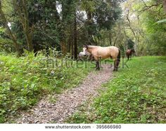 Horses grazing in the forest, Caucasus Nature Reserve - stock photo