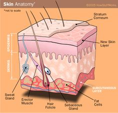 Layers of the skin.